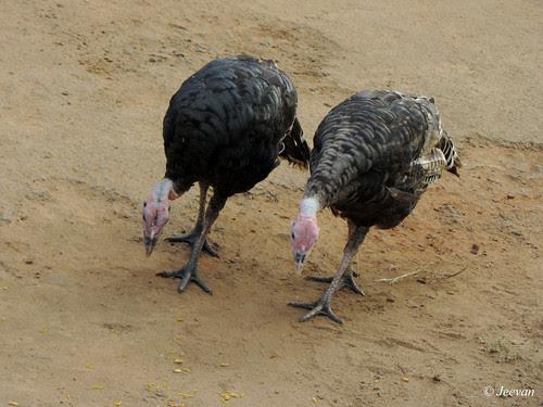 Turkey Twins
