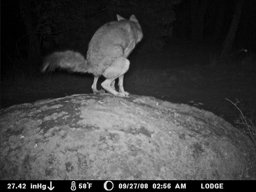wile e. coyote on marking rock
