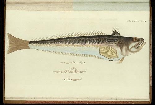 'Trachinus Draco' by Peder Ascanius - 1767 - Icones rerum naturalium