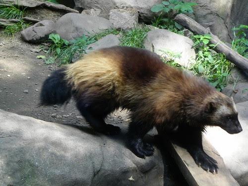 Restless Wolverine
