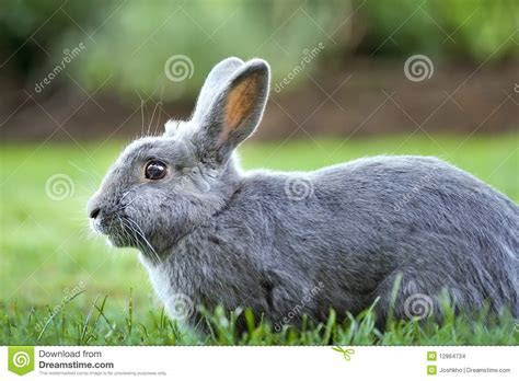 Gray Bunny Rabbit stock photo. Image of meadow, cottontail   12964734