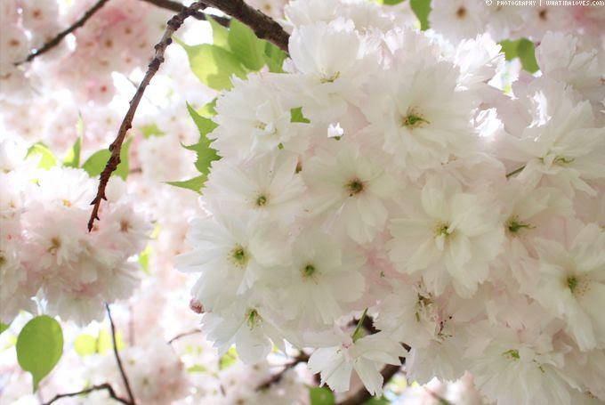 http://i402.photobucket.com/albums/pp103/Sushiina/cityglam/blossom4_zpscff3b660.jpg