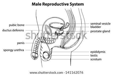 Male Reproductive System Stock Photos, Images, & Pictures ...