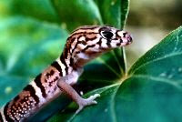 Yucatan Banded Gecko is endemic to the peninsula of Yucatan and a rare gecko to encounter