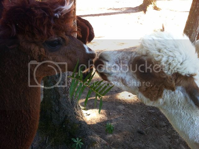 alpacas kissing, alpacas kissing