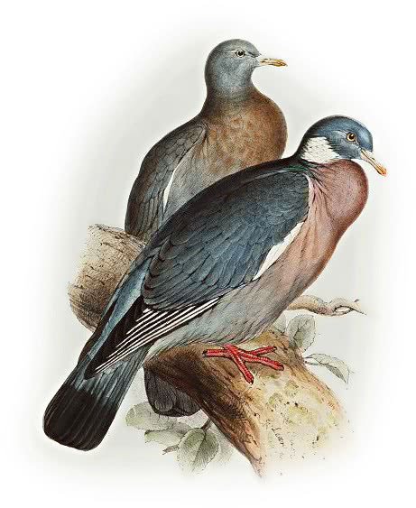 Wood pigeon  Columba palumbus
