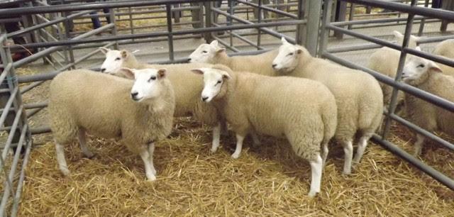 koyun ile ilgili görsel sonucu