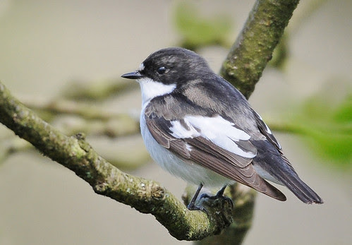 One More Pied Flycatcher