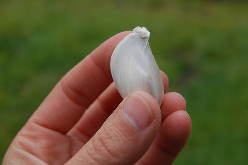 This garlic clove will become a whole head!