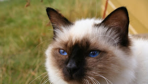 These Are 15 Pictures About Cat Breeds Birman