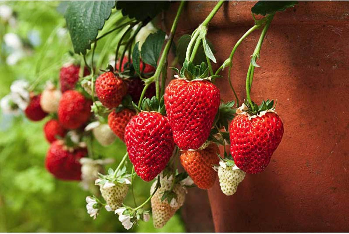 Loran Strawberry Plants