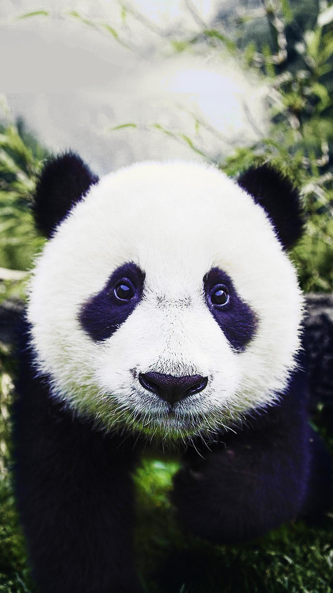 Free HD Baby Panda Phone Wallpaper6851