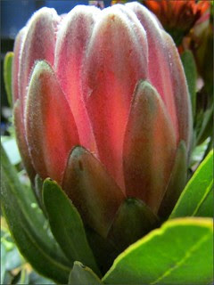 Protea, side view