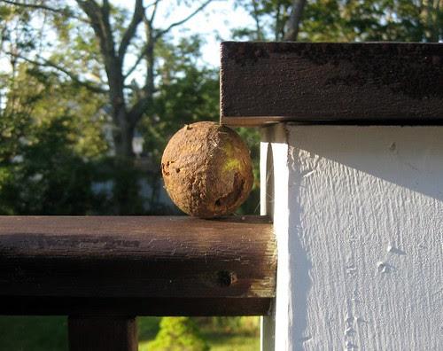 """Black Walnut Seed """"Hidden"""" by a Squirrel"""