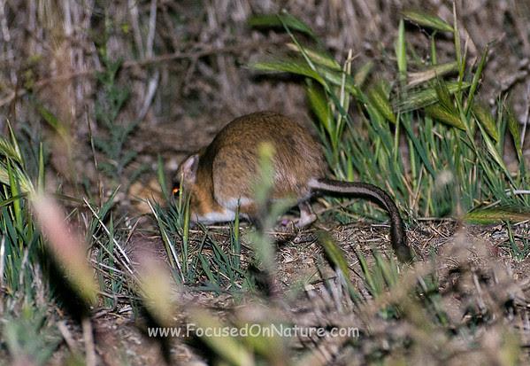 Giant Kangaroo Rat