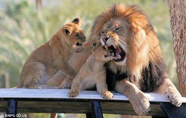 lion bites cub