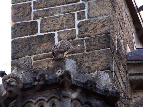 Red-Tailed Hawk (6664)