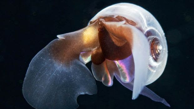 Pteropod mollusk found in north Pacific waters.