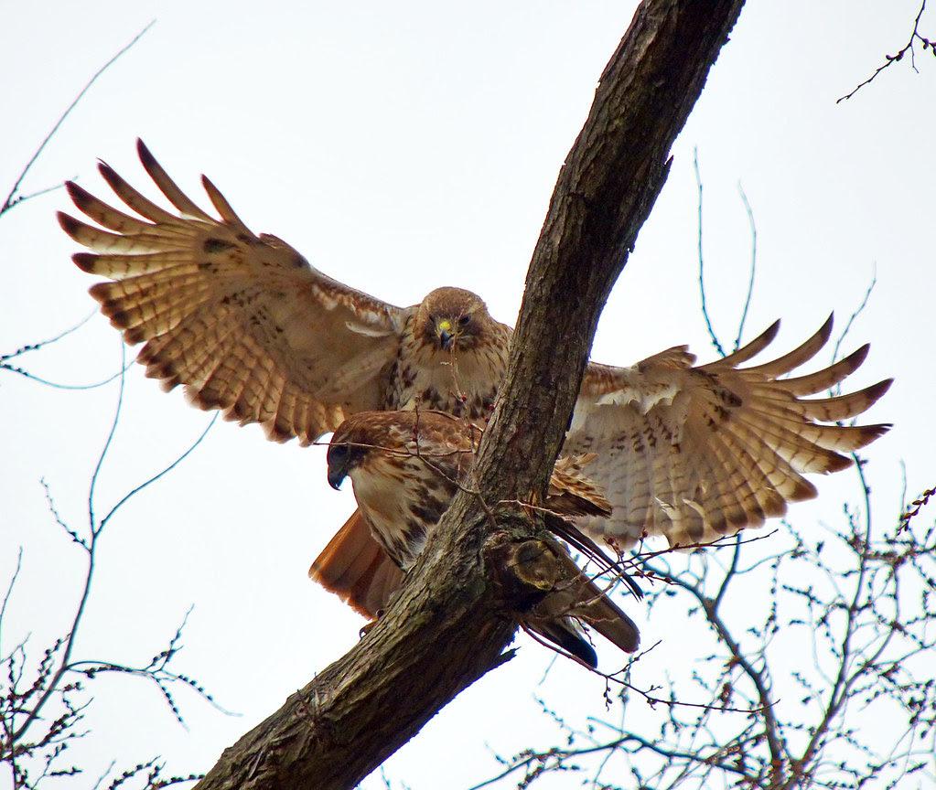 Hawk sex