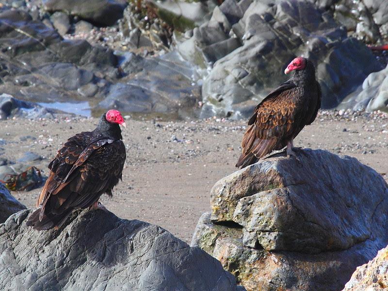 IMG_5517 Turkey Vulture at Piedras Blancas, San Simeon, CA