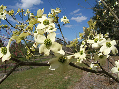 Flowering Dogwood University Of Florida Institute Of Food And