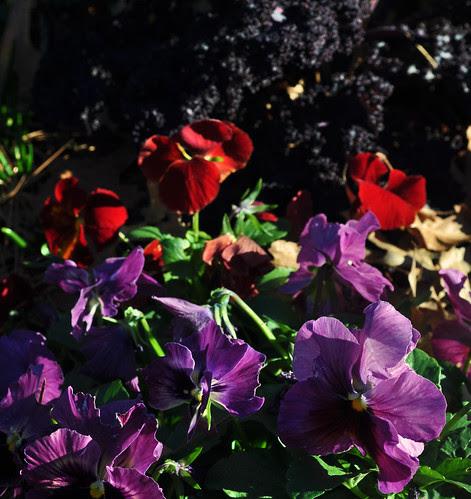 Viola x 'Persian Medley'  (2)