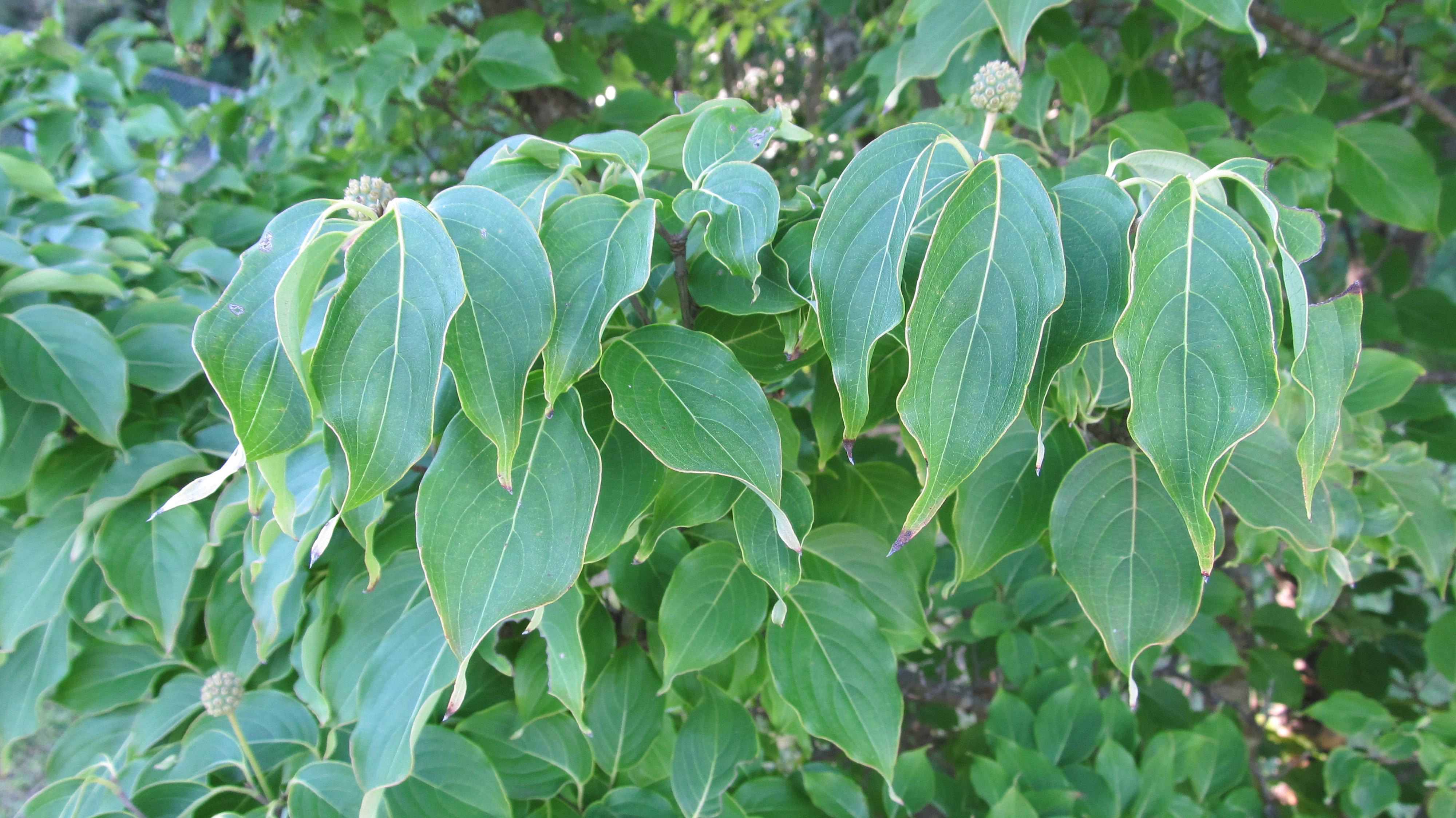 Kousa Dogwood Not Summer Heat Tolerant What Grows There Hugh