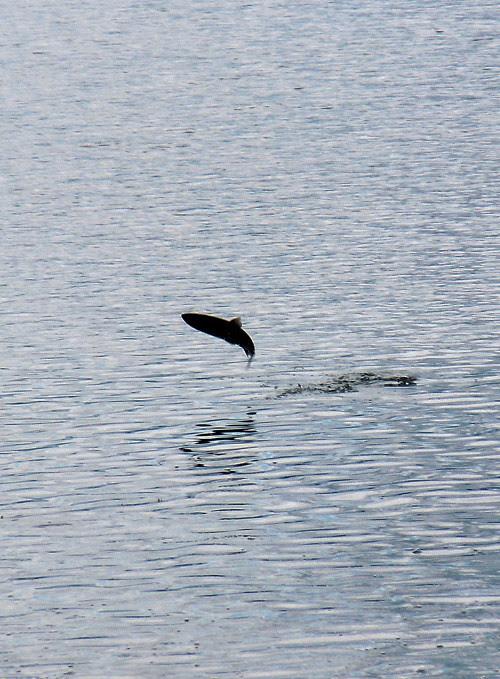 a salmon jumps in Kasaan Bay, Kasaan, Alaska