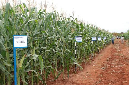 Drought tolerant maize lines at Kiboko, Kenya