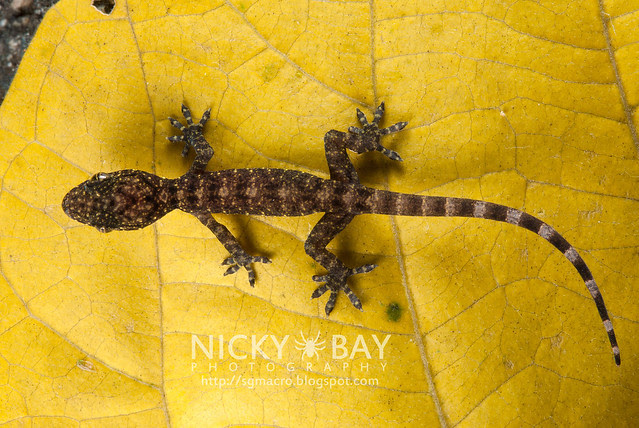 Gecko (Gekkota) - DSC_1607
