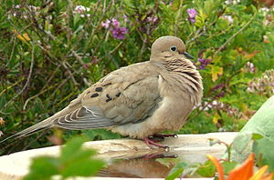 Mourning Dove at the bird bath.