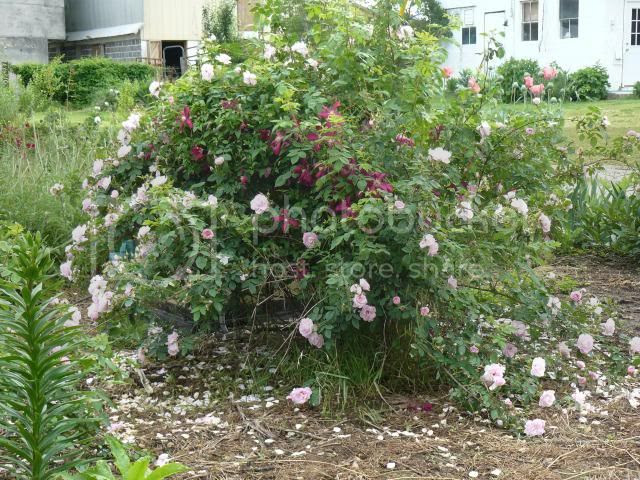 Alba rosewith viticella clematis photo albarosewithclematisviticella_zps7b716d1b.jpg