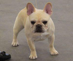 True Cream Vs Fawn Vs White French Bulldogs Australia