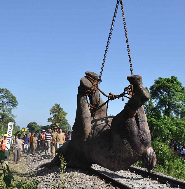 Travesty: The massive carcass is winched into the air by the railways removal van