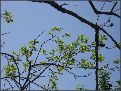 03 persimmon branch