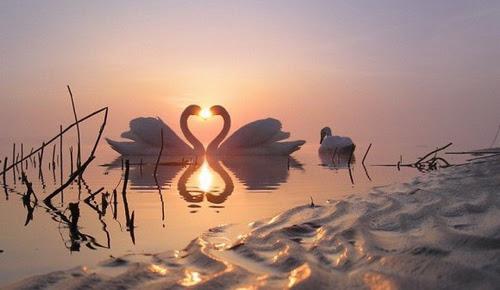 Valentine's Day Swans