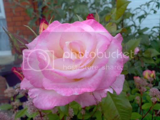 Pink Rose 9th June 2011