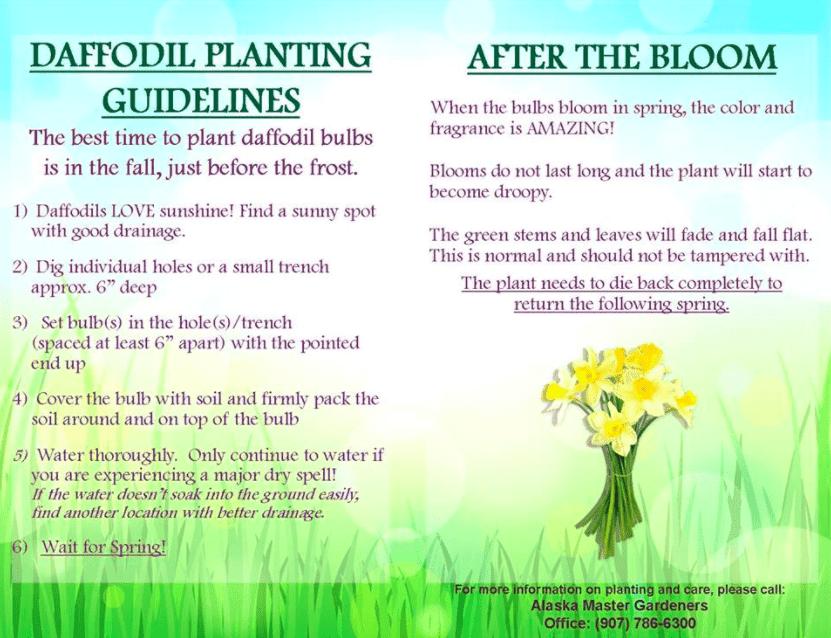 Free Daffodil Bulbs and planting guide | KVAK