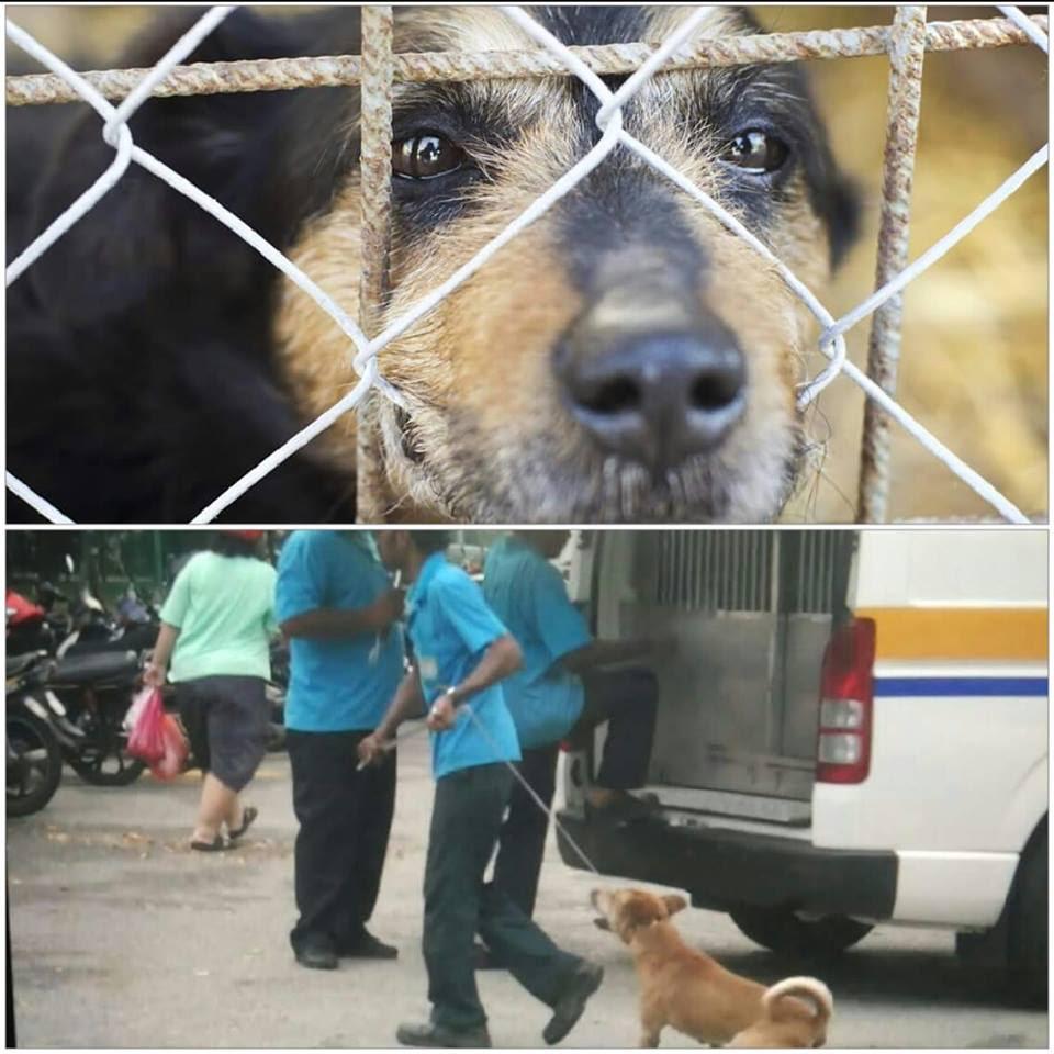 即使沒有瘋狗症,檳城政府仍在每天瘋狂捉狗屠殺。