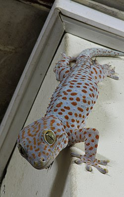 Tắc kè Gekko gekko ở Rạch Giá, Kiên Giang