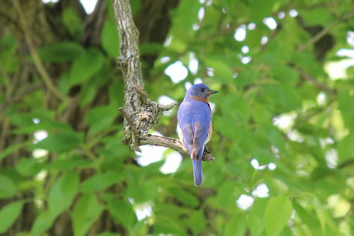 IMG_0120_Bluebird_at_Ouabache