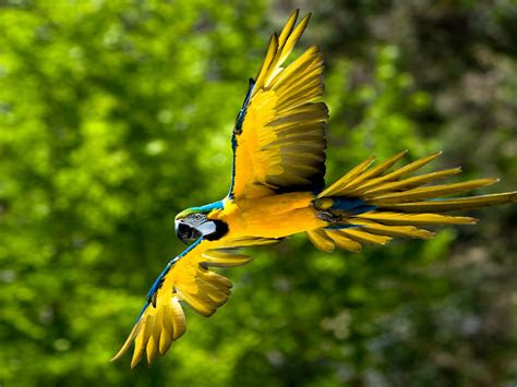 flying blue  yellow macaw parot bird wallpaperscom