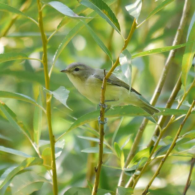Ed Gaillard: birds &emdash; Warbling Vireo, Central Park