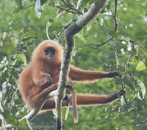 red leaf monkey IMG_7053 copy