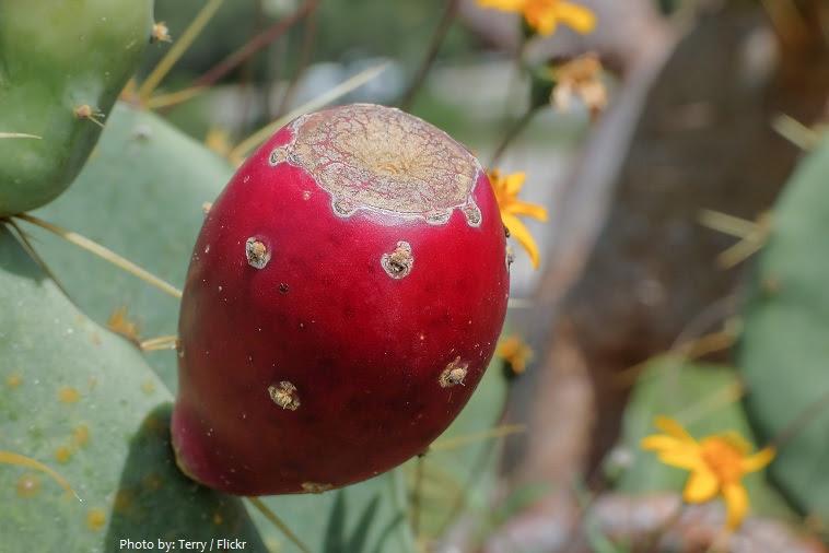 φρούτα κάκτων