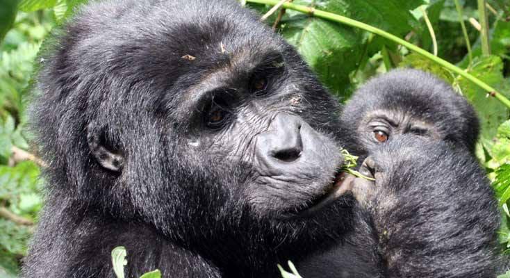 uganda rwanda gorilla trekking holidays