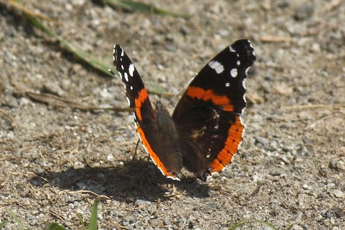 Red admiral  17