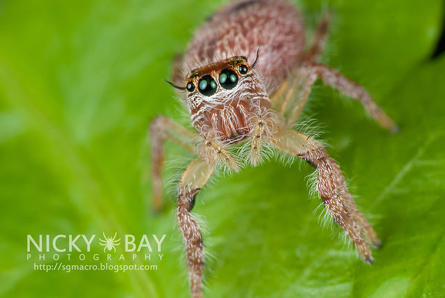 Jumping Spider (Salticidae) - DSC_8041
