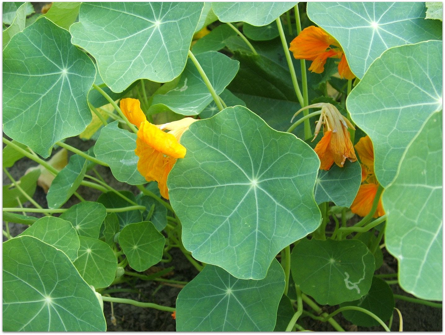 Nasturtiums by Angie Ouellette-Tower for godsgrowinggarden.com photo 019_zpsc47275e6.jpg