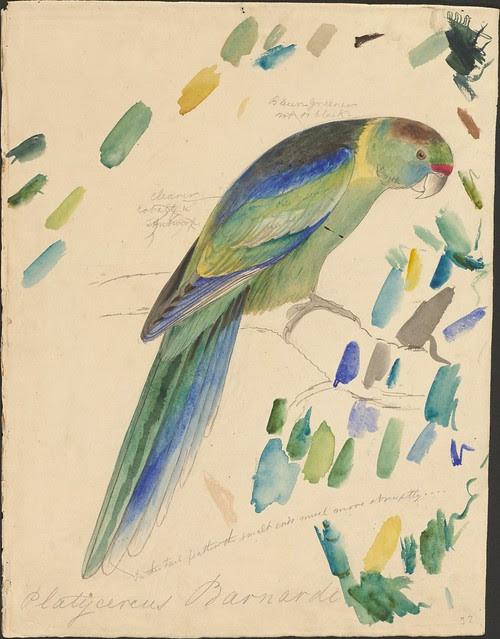 Barnard's parakeet - graphite and watercolour drawing (32)